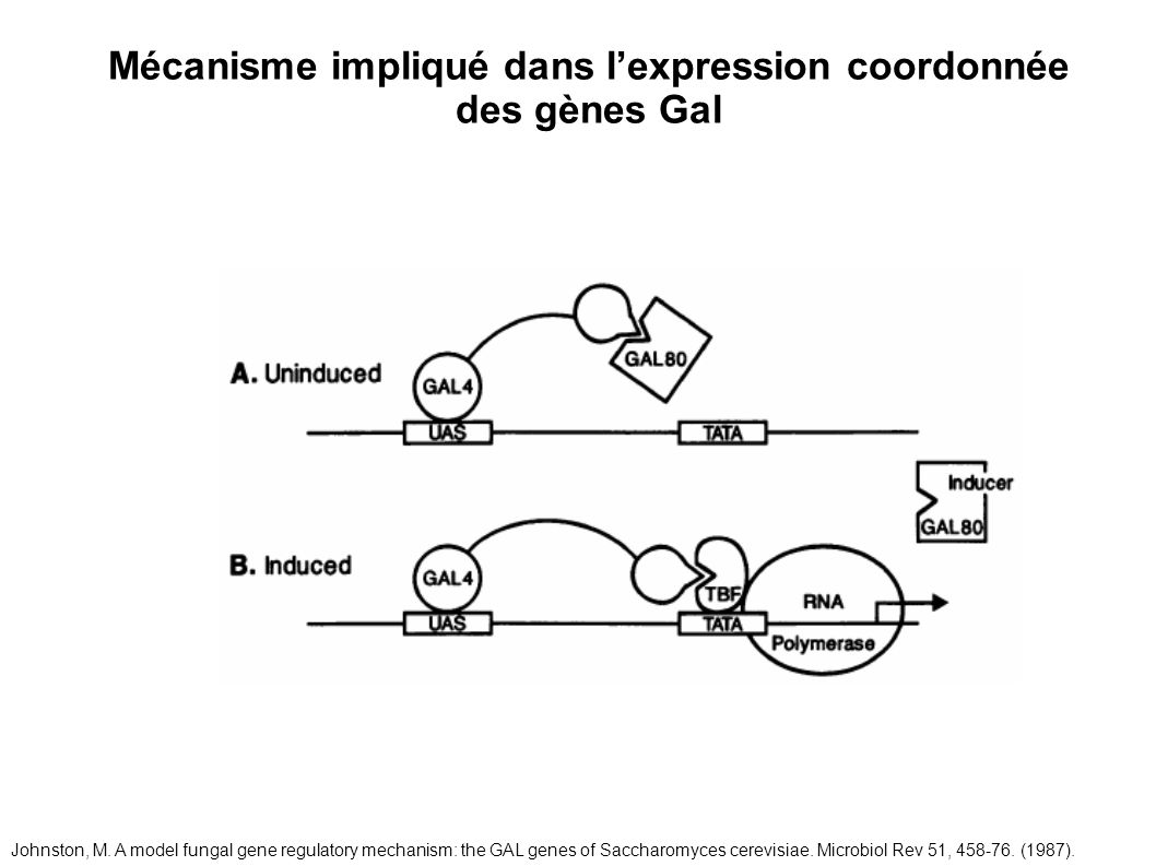 Mécanisme impliqué dans lexpression coordonnée des gènes Gal Johnston, M. A model fungal gene regulatory mechanism: the GAL genes of Saccharomyces cer