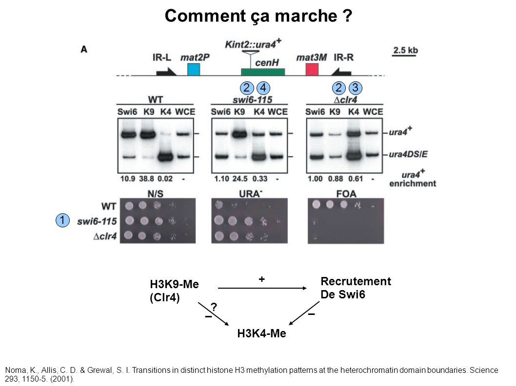 Comment ça marche ? 2 1 234 Noma, K., Allis, C. D. & Grewal, S. I. Transitions in distinct histone H3 methylation patterns at the heterochromatin doma