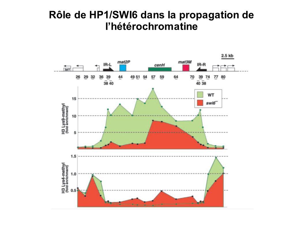 Rôle de HP1/SWI6 dans la propagation de lhétérochromatine