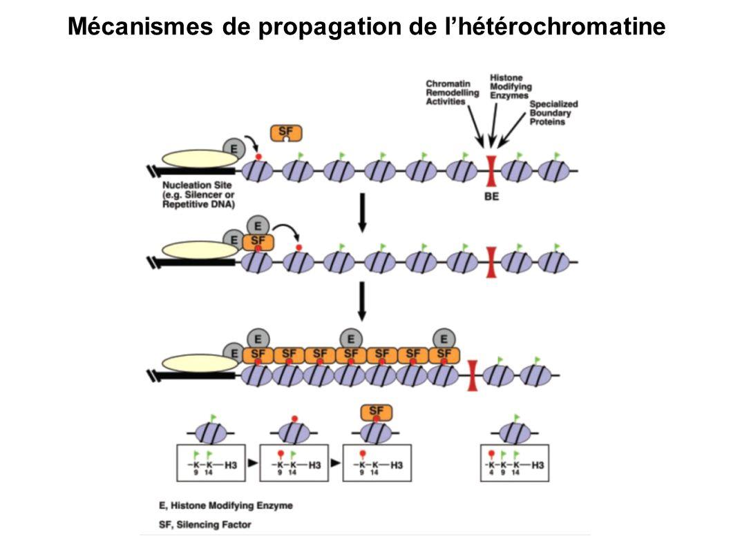 Mécanismes de propagation de lhétérochromatine