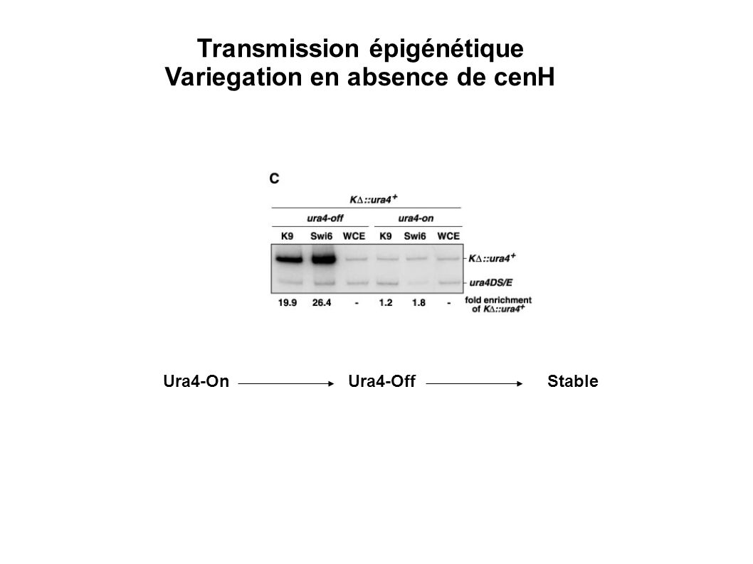 Ura4-OnUra4-OffStable Transmission épigénétique Variegation en absence de cenH
