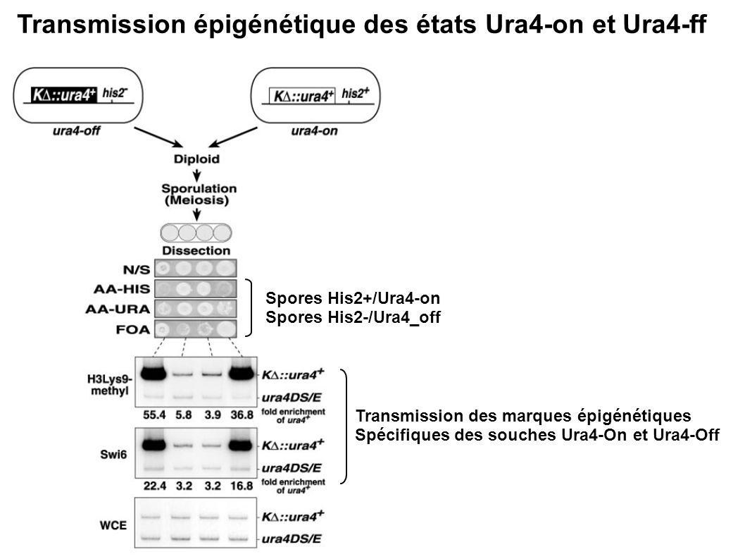 Transmission épigénétique des états Ura4-on et Ura4-ff Spores His2+/Ura4-on Spores His2-/Ura4_off Transmission des marques épigénétiques Spécifiques d