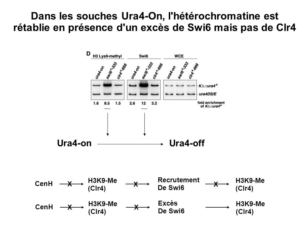 Dans les souches Ura4-On, l'hétérochromatine est rétablie en présence d'un excès de Swi6 mais pas de Clr4 Ura4-on Ura4-off H3K9-Me (Clr4) Recrutement