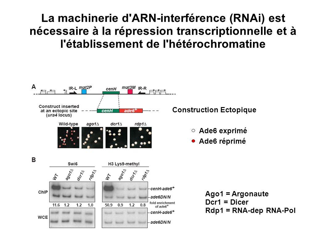La machinerie d'ARN-interférence (RNAi) est nécessaire à la répression transcriptionnelle et à l'établissement de l'hétérochromatine Ago1 = Argonaute