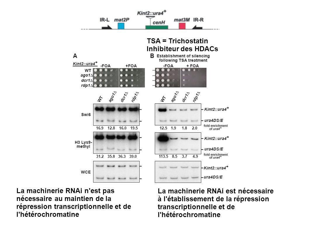 TSA = Trichostatin Inhibiteur des HDACs La machinerie RNAi n'est pas nécessaire au maintien de la répression transcriptionnelle et de l'hétérochromati