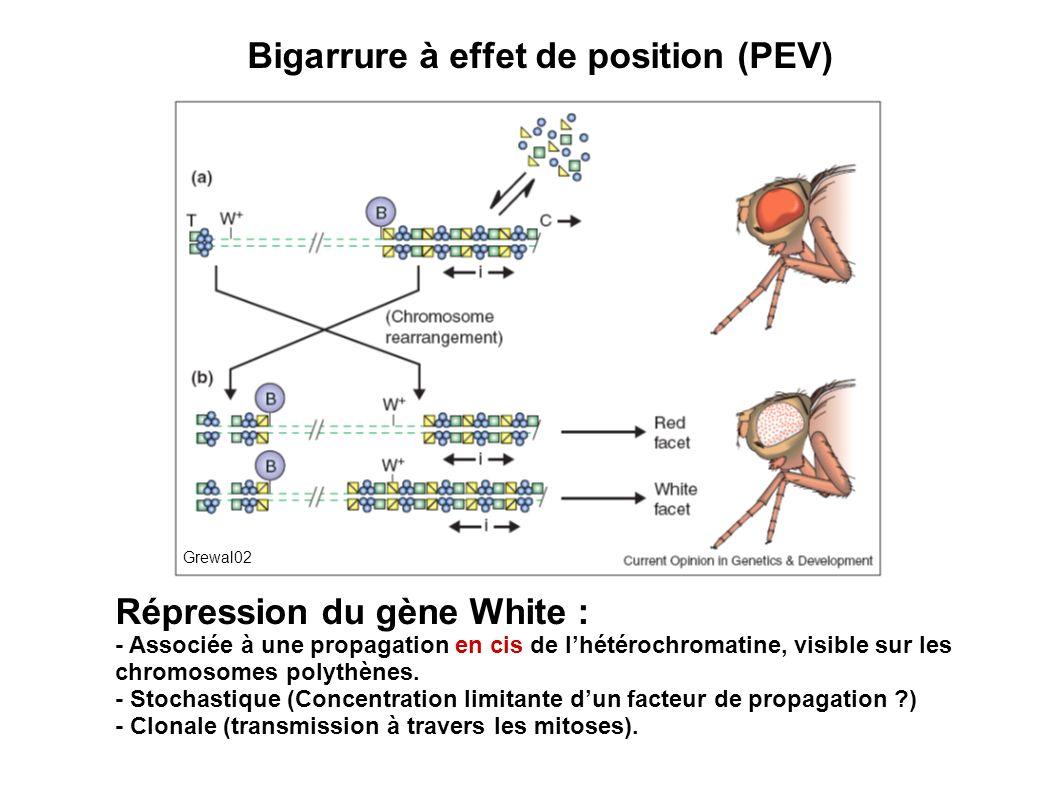 Répression du gène White : - Associée à une propagation en cis de lhétérochromatine, visible sur les chromosomes polythènes. - Stochastique (Concentra