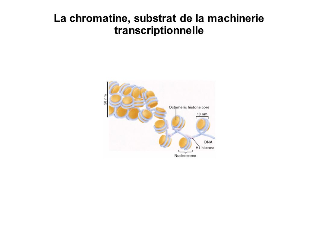 Le nucléosome : unité élémentaire de la chromatine ADN : 1,67 tours ; 147 paires de bases