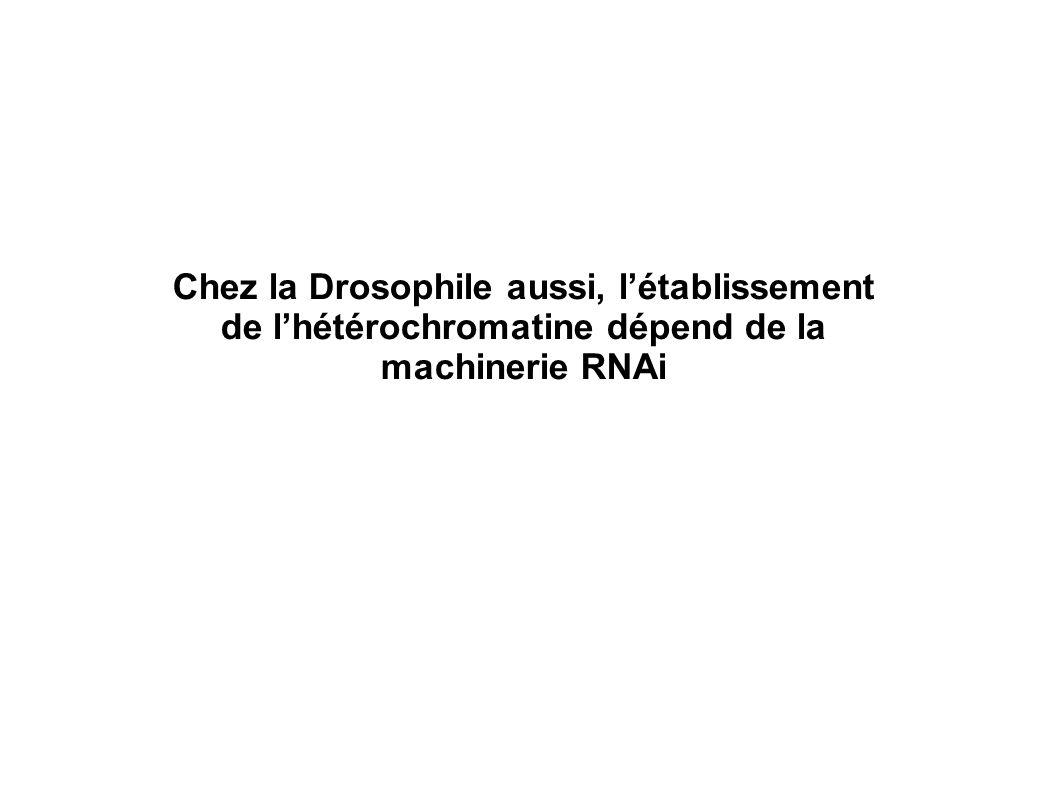 Chez la Drosophile aussi, létablissement de lhétérochromatine dépend de la machinerie RNAi