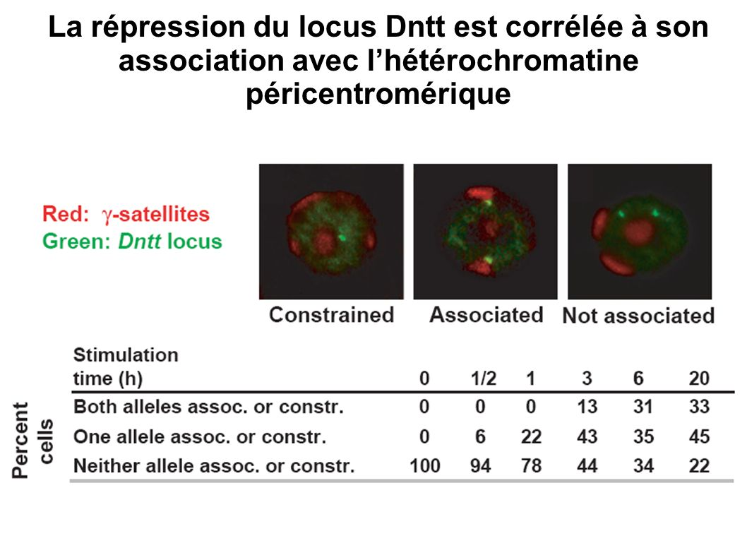 La répression du locus Dntt est corrélée à son association avec lhétérochromatine péricentromérique