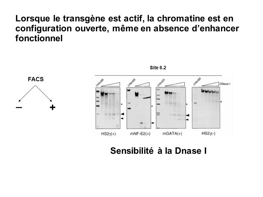 Site 6.2 Lorsque le transgène est actif, la chromatine est en configuration ouverte, même en absence denhancer fonctionnel Sensibilité à la Dnase I FA