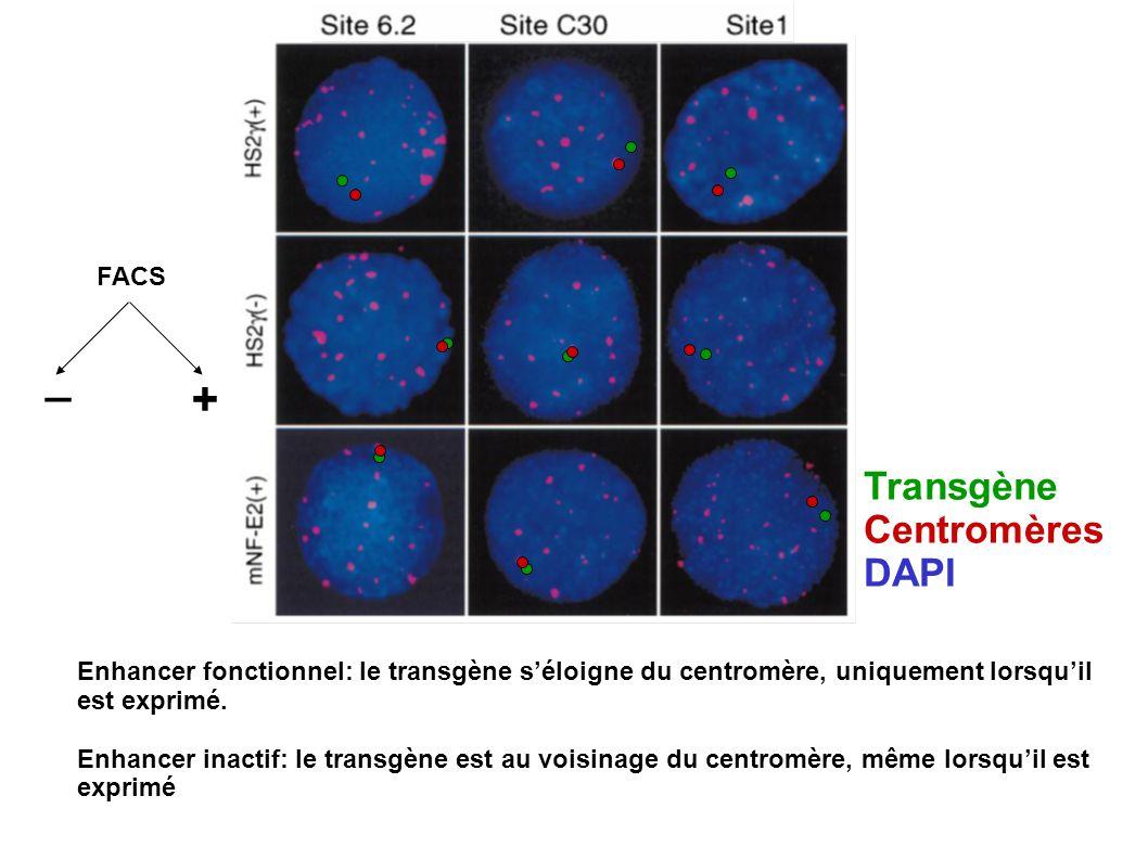 Transgène Centromères DAPI Enhancer fonctionnel: le transgène séloigne du centromère, uniquement lorsquil est exprimé. Enhancer inactif: le transgène