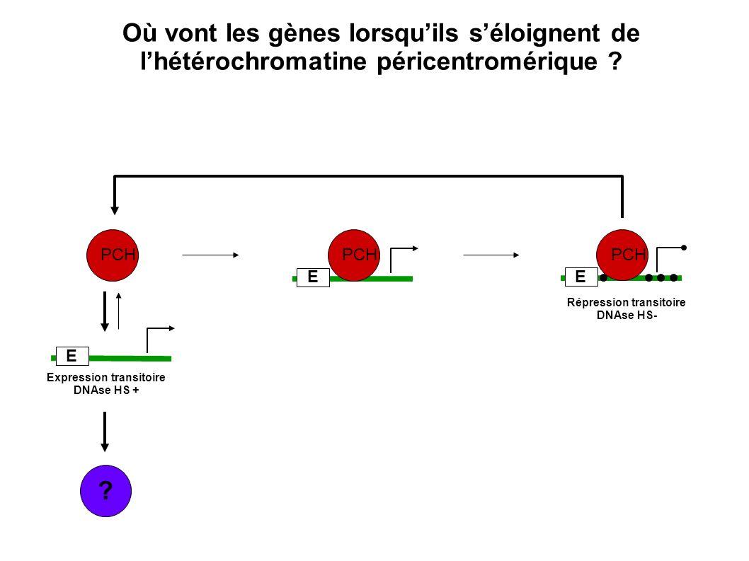 ? PCH E E E Expression transitoire DNAse HS + Répression transitoire DNAse HS- Où vont les gènes lorsquils séloignent de lhétérochromatine péricentrom