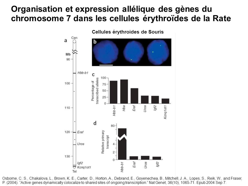 Organisation et expression allélique des gènes du chromosome 7 dans les cellules érythroïdes de la Rate Cellules érythroides de Souris Osborne, C. S.,