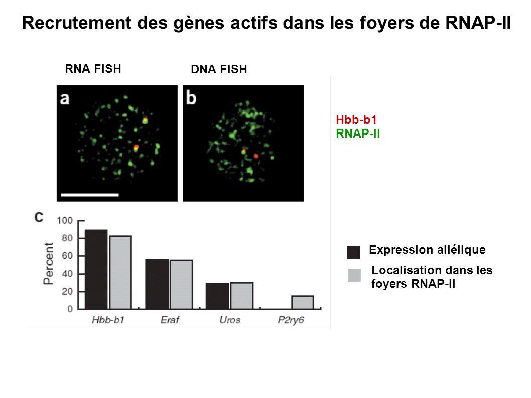 Expression allélique Localisation dans les foyers RNAP-II Hbb-b1 RNAP-II RNA FISH DNA FISH Recrutement des gènes actifs dans les foyers de RNAP-II