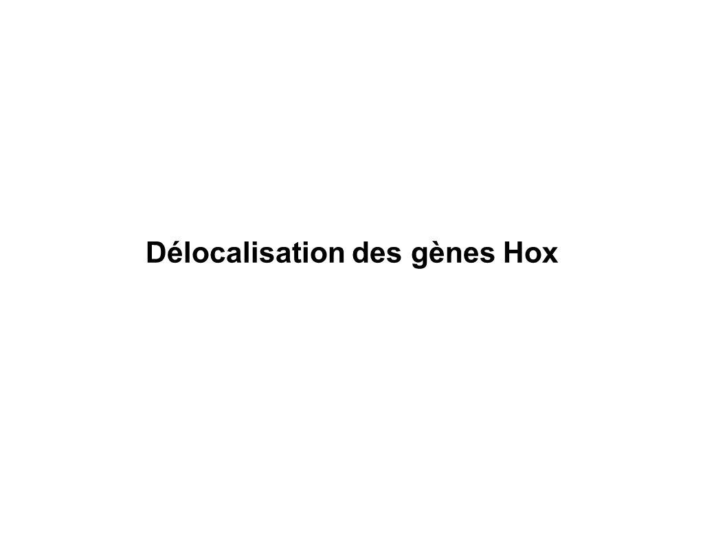 Délocalisation des gènes Hox