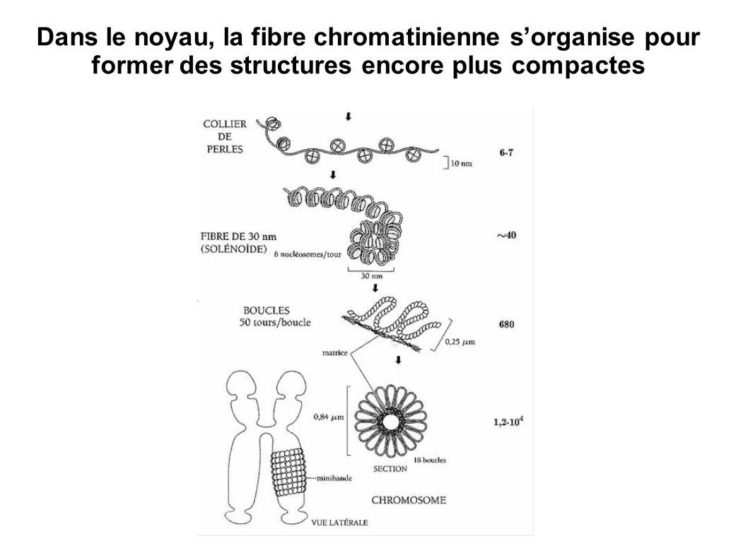 Des mécanismes similaires ont été mis en évidence chez la Drosophile…
