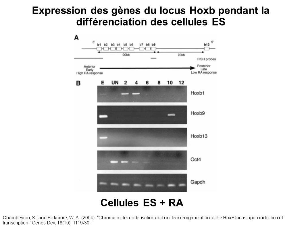 Cellules ES + RA Expression des gènes du locus Hoxb pendant la différenciation des cellules ES Chambeyron, S., and Bickmore, W. A. (2004). Chromatin d
