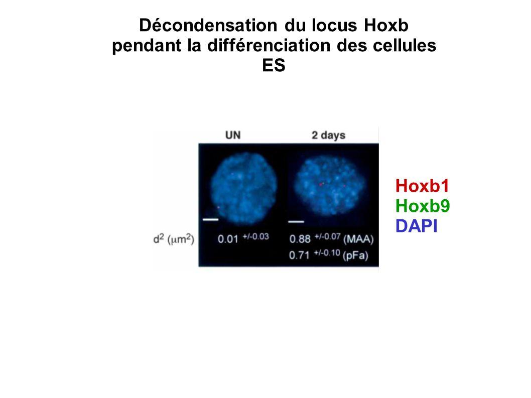 Hoxb1 Hoxb9 DAPI Décondensation du locus Hoxb pendant la différenciation des cellules ES