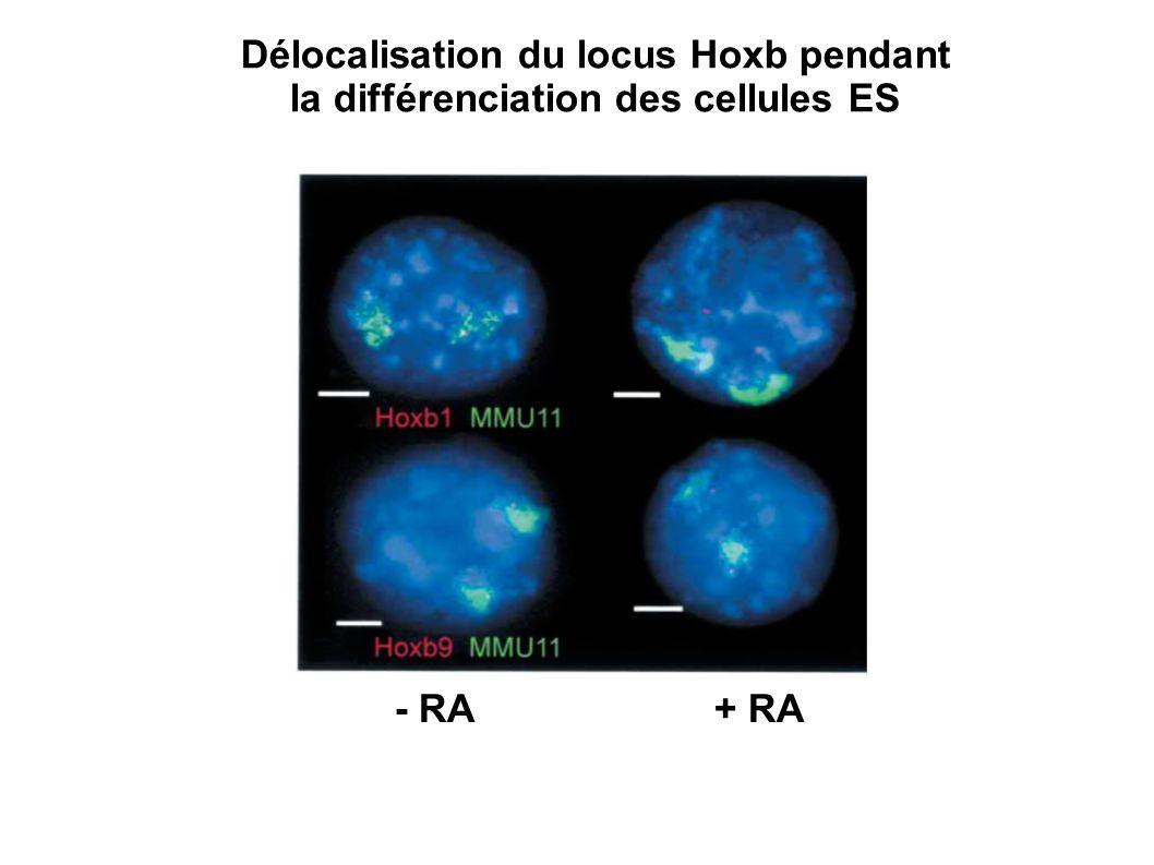 - RA + RA Délocalisation du locus Hoxb pendant la différenciation des cellules ES