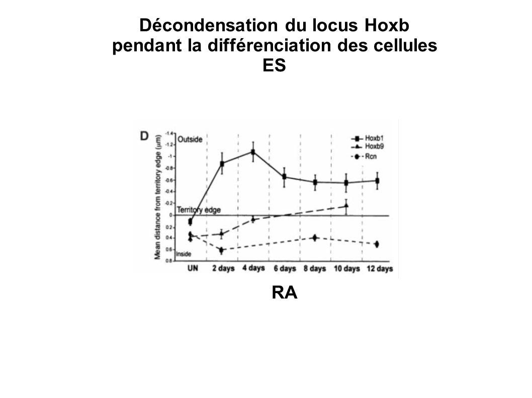 RA Décondensation du locus Hoxb pendant la différenciation des cellules ES