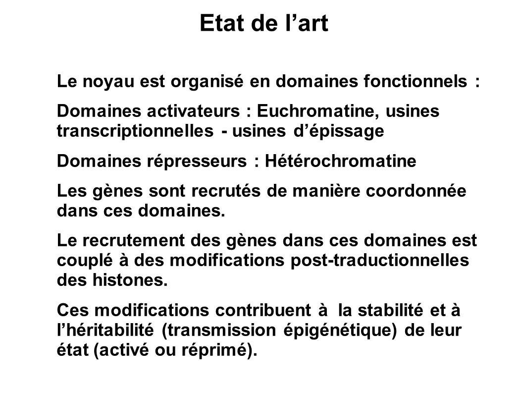 Le noyau est organisé en domaines fonctionnels : Domaines activateurs : Euchromatine, usines transcriptionnelles - usines dépissage Domaines répresseu