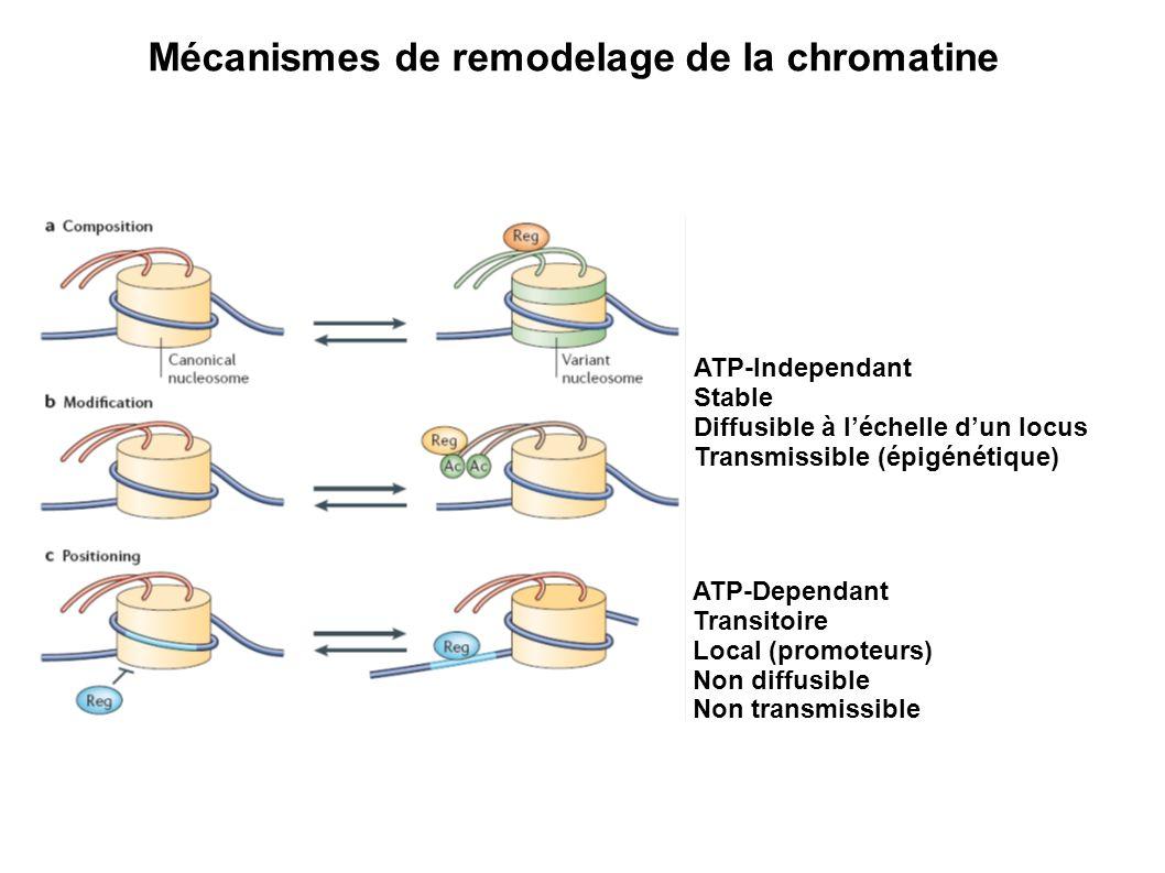 ATP-Dependant Transitoire Local (promoteurs) Non diffusible Non transmissible ATP-Independant Stable Diffusible à léchelle dun locus Transmissible (ép