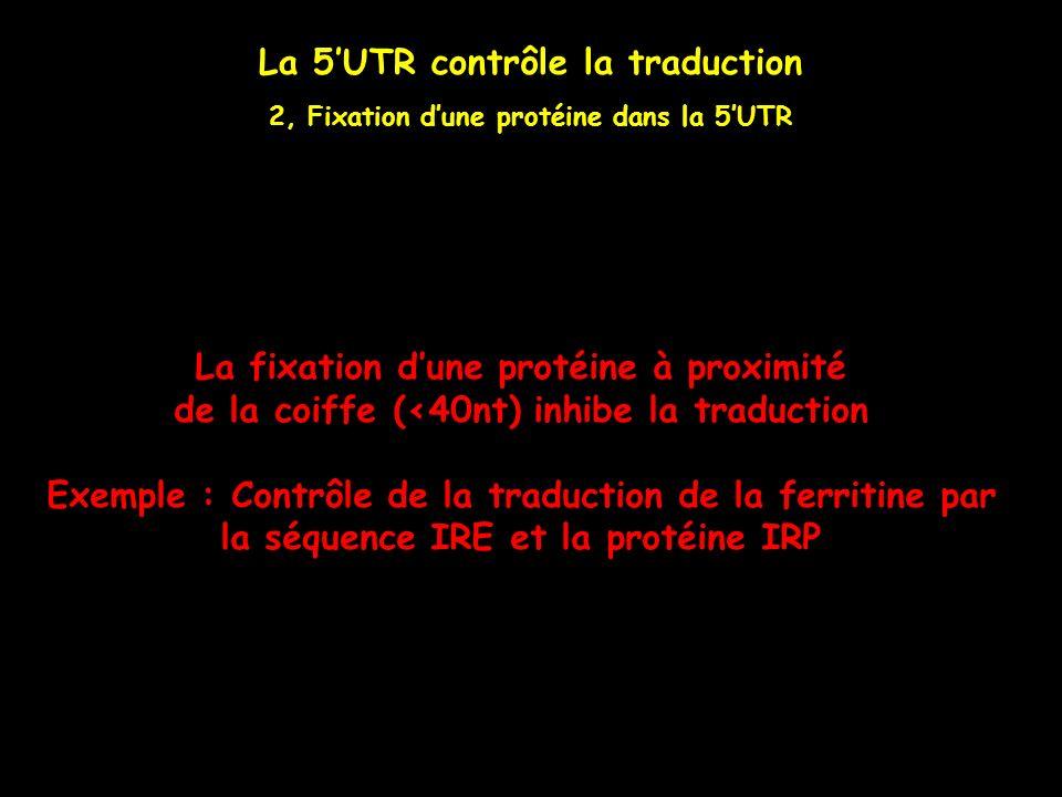 La 5UTR contrôle la traduction 2, Fixation dune protéine dans la 5UTR La fixation dune protéine à proximité de la coiffe (<40nt) inhibe la traduction