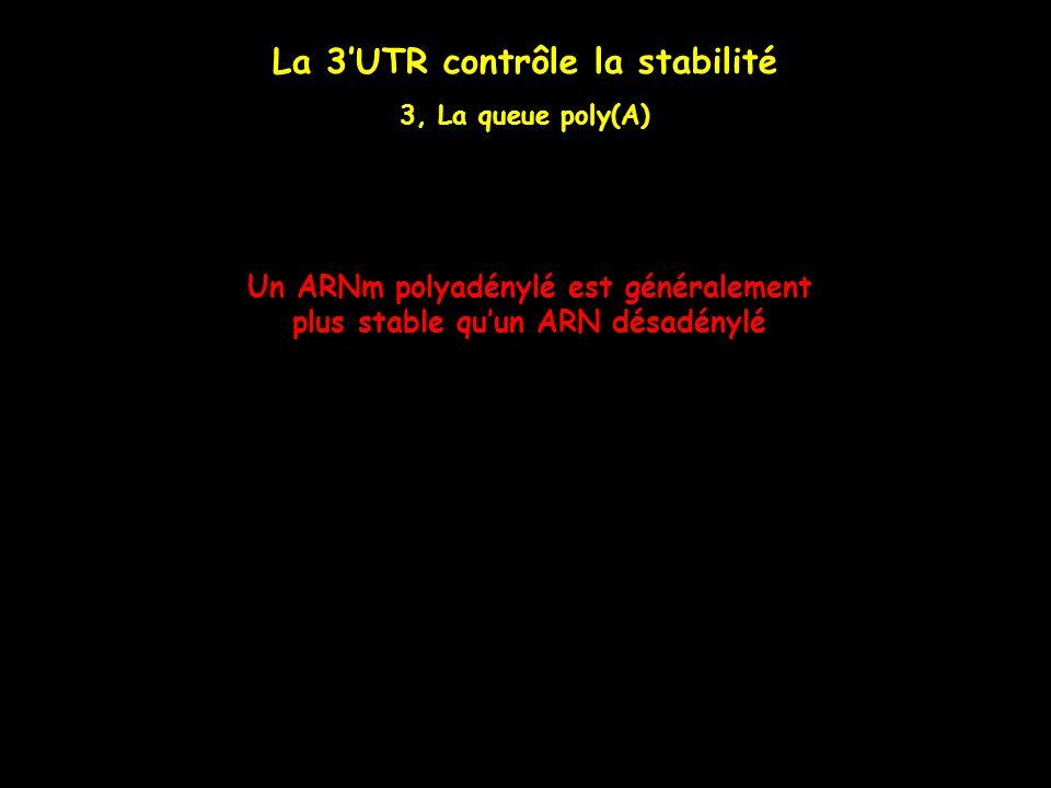 La 3UTR contrôle la stabilité 3, La queue poly(A) Un ARNm polyadénylé est généralement plus stable quun ARN désadénylé