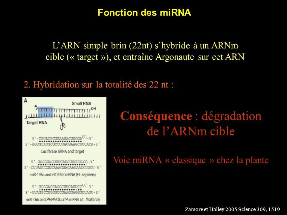 Fonction des miRNA LARN simple brin (22nt) shybride à un ARNm cible (« target »), et entraîne Argonaute sur cet ARN 2. Hybridation sur la totalité des