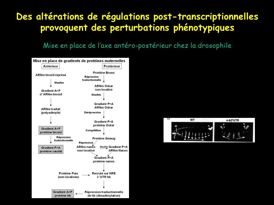 Des altérations de régulations post-transcriptionnelles provoquent des perturbations phénotypiques Mise en place de laxe antéro-postérieur chez la dro