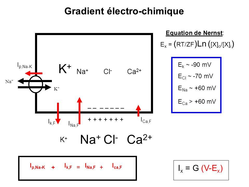 K+K+ Na + Cl - Ca 2+ _ _ _ _ _ _ _ + + + + + + + Na + K+K+ Cl - Ca 2+ K+K+ Na + I k,F I Na,F I p,Na-K Gradient électro-chimique I Ca,F I p,Na-K I k,F