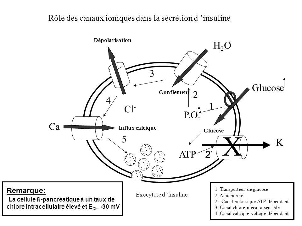 Rôle des canaux ioniques dans la sécrétion d insuline Glucose P.O. Cl - Ca H2OH2O 1 2 3 4 5 Glucose Gonflement Dépolarisation Influx calcique Exocytos