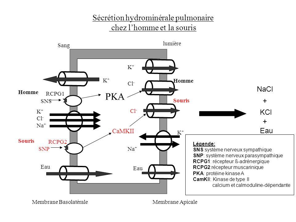 Sécrétion hydrominérale pulmonaire chez lhomme et la souris Sang lumière Membrane ApicaleMembrane Basolatérale K+K+ K+K+ Eau RCPG1 PKA SNS Homme RCPG2