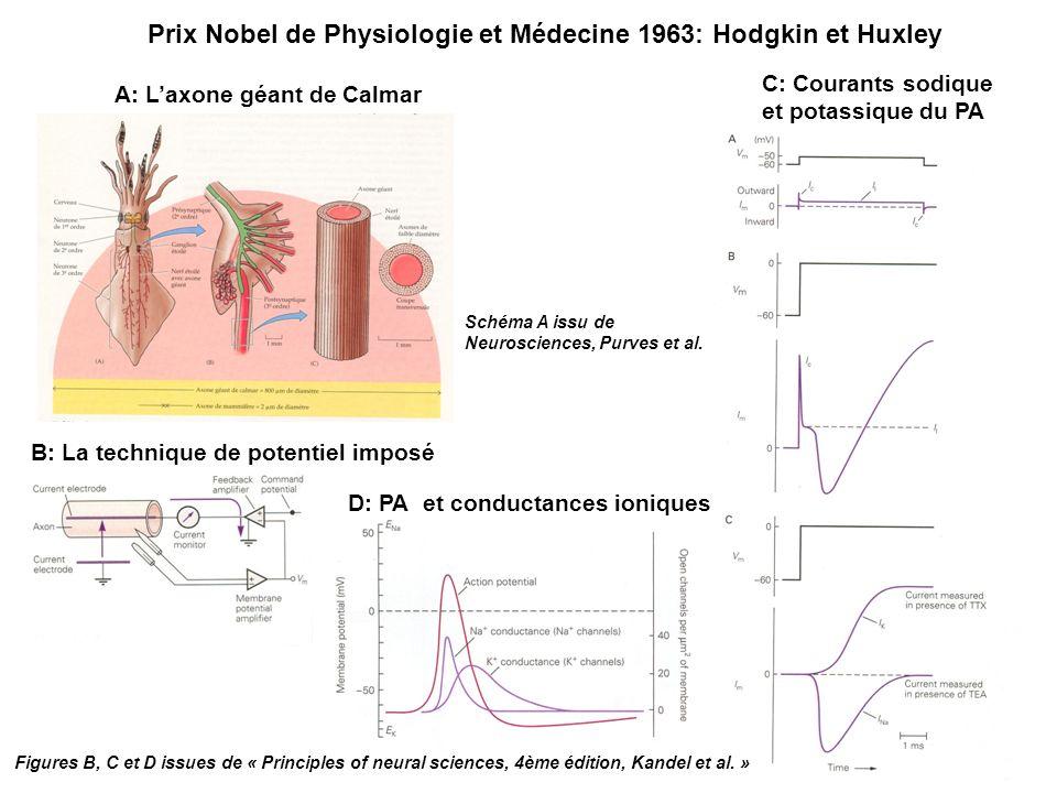 Prix Nobel de Physiologie et Médecine 1963: Hodgkin et Huxley A: Laxone géant de Calmar B: La technique de potentiel imposé D: PA et conductances ioniques C: Courants sodique et potassique du PA Figures B, C et D issues de « Principles of neural sciences, 4ème édition, Kandel et al.