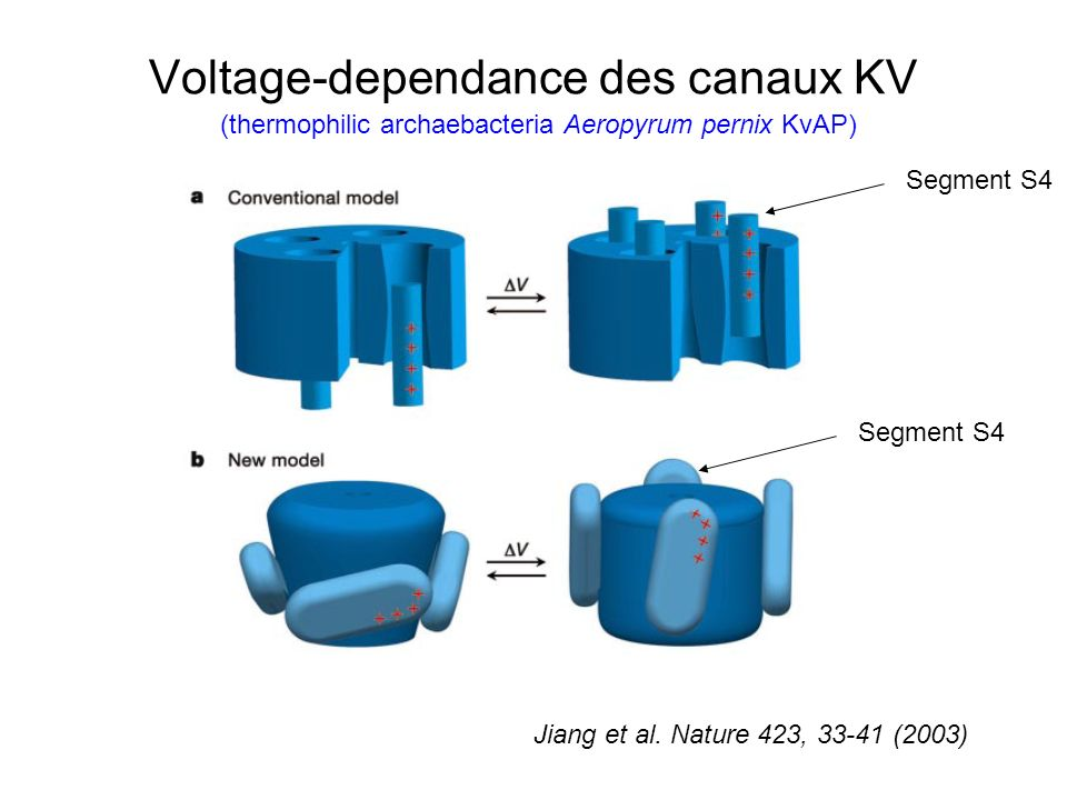 Voltage-dependance des canaux KV Jiang et al. Nature 423, 33-41 (2003) Segment S4 (thermophilic archaebacteria Aeropyrum pernix KvAP)