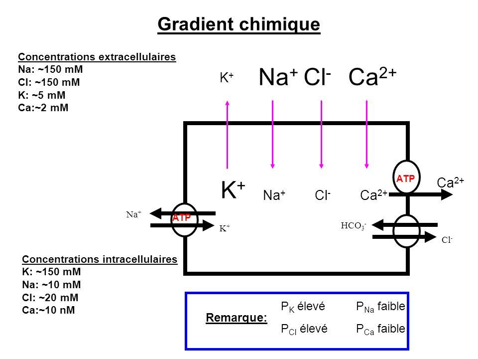 Gradient chimique P K élevé P Cl élevé P Na faible P Ca faible Remarque: Concentrations extracellulaires Na: ~150 mM Cl: ~150 mM K: ~5 mM Ca:~2 mM Con