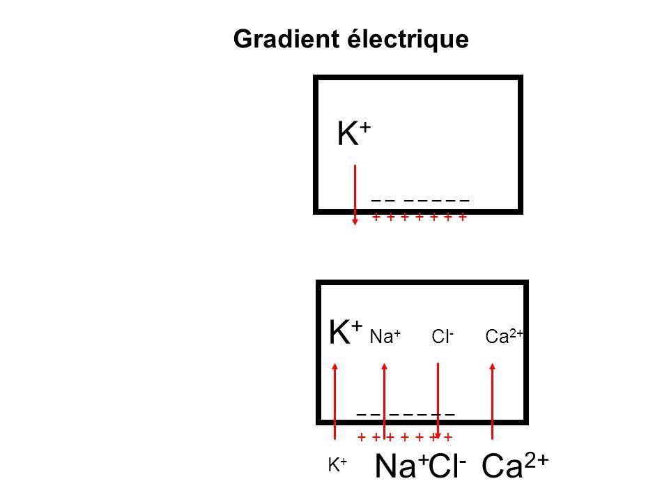 K+K+ Na + Cl - Ca 2+ _ _ _ _ _ _ _ + + + + + + + Na + K+K+ Cl - Ca 2+ K+K+ Na + I k,F I Na,F I p,Na-K Gradient électro-chimique I Ca,F I p,Na-K I k,F I Na,F =+ I ca,F + E k ~ -90 mV E Cl ~ -70 mV E Na ~ +60 mV E Ca > +60 mV E x = ( RT/ZF )Ln ( [X] o /[X] i ) Equation de Nernst: I x = G (V-E x )
