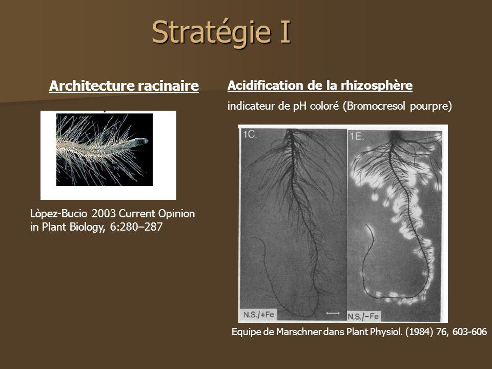 Stratégie I Lòpez-Bucio 2003 Current Opinion in Plant Biology, 6:280–287 Acidification de la rhizosphère indicateur de pH coloré (Bromocresol pourpre) Equipe de Marschner dans Plant Physiol.
