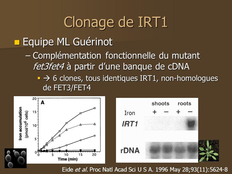Clonage de IRT1 Equipe ML Guérinot Equipe ML Guérinot –Complémentation fonctionnelle du mutant fet3fet4 à partir dune banque de cDNA 6 clones, tous identiques IRT1, non-homologues de FET3/FET4 6 clones, tous identiques IRT1, non-homologues de FET3/FET4 Eide et al.