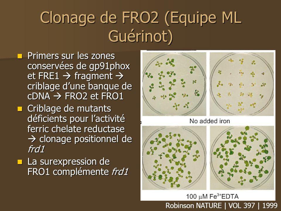 Clonage de FRO2 (Equipe ML Guérinot) Primers sur les zones conservées de gp91phox et FRE1 fragment criblage dune banque de cDNA FRO2 et FRO1 Primers sur les zones conservées de gp91phox et FRE1 fragment criblage dune banque de cDNA FRO2 et FRO1 Criblage de mutants déficients pour lactivité ferric chelate reductase clonage positionnel de frd1 Criblage de mutants déficients pour lactivité ferric chelate reductase clonage positionnel de frd1 La surexpression de FRO1 complémente frd1 La surexpression de FRO1 complémente frd1 Robinson NATURE | VOL 397 | 1999