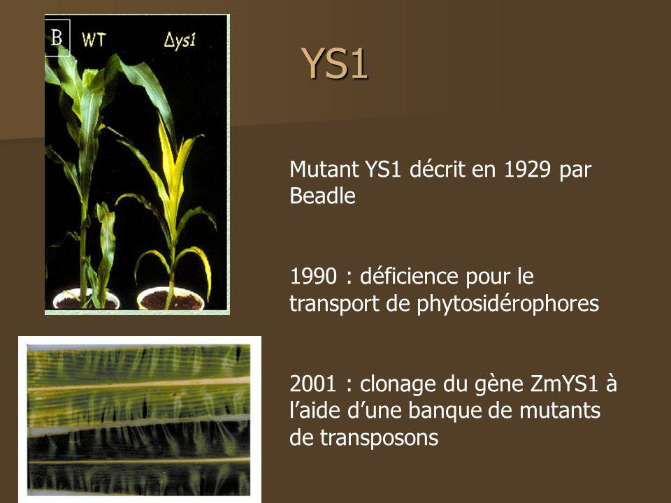 YS1 Mutant YS1 décrit en 1929 par Beadle 1990 : déficience pour le transport de phytosidérophores 2001 : clonage du gène ZmYS1 à laide dune banque de mutants de transposons