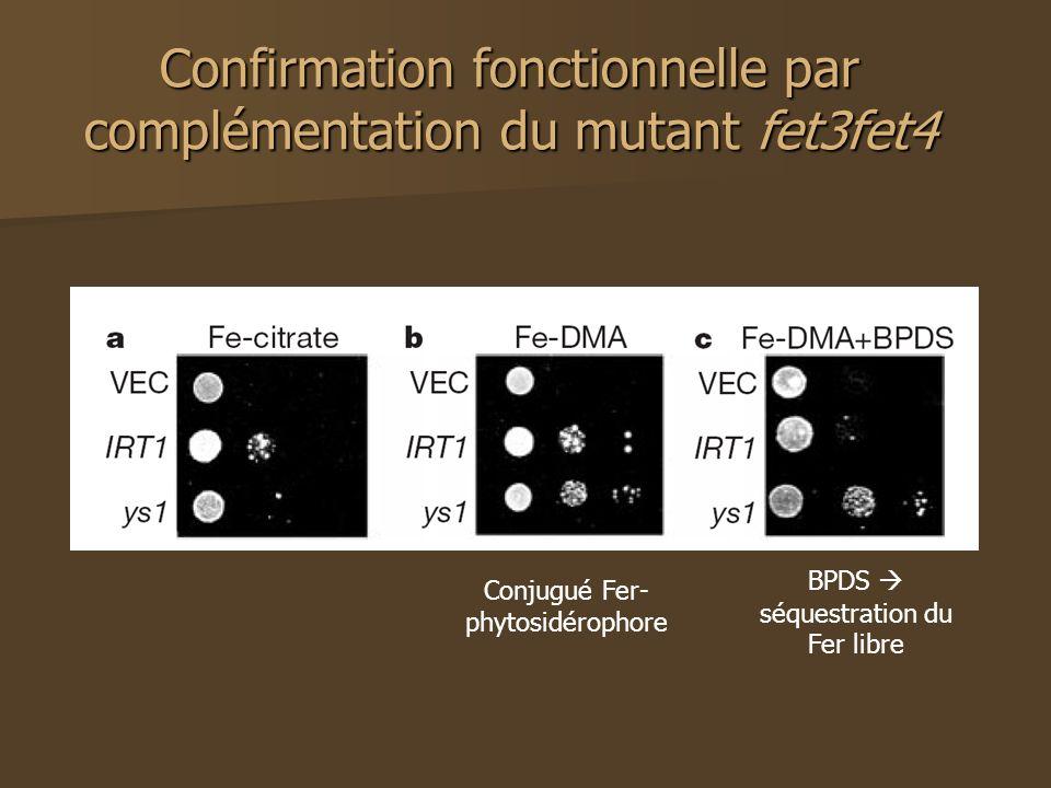 Confirmation fonctionnelle par complémentation du mutant fet3fet4 BPDS séquestration du Fer libre Conjugué Fer- phytosidérophore