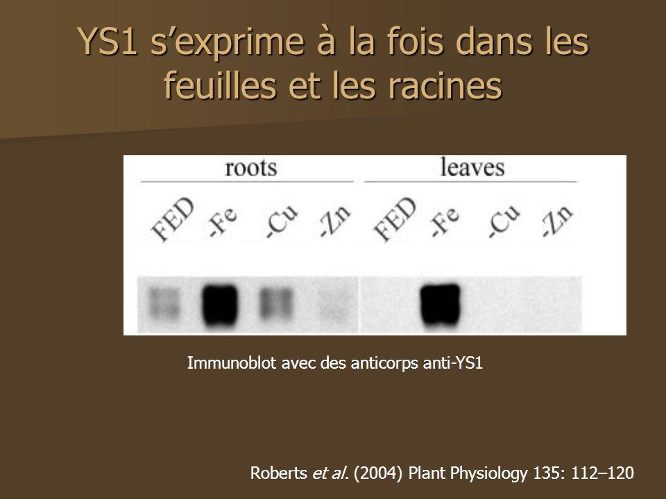 YS1 sexprime à la fois dans les feuilles et les racines Roberts et al. (2004) Plant Physiology 135: 112–120 Immunoblot avec des anticorps anti-YS1