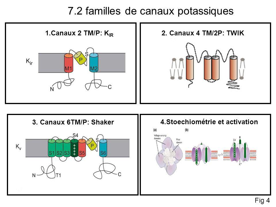 B: Structure oligomérique Canaux Ca V C: Sous unité alpha de canaux Na V A: Sous unité alpha 1 de canaux Ca V ++++++ ++++++ ++++++ ++++++ s.u.