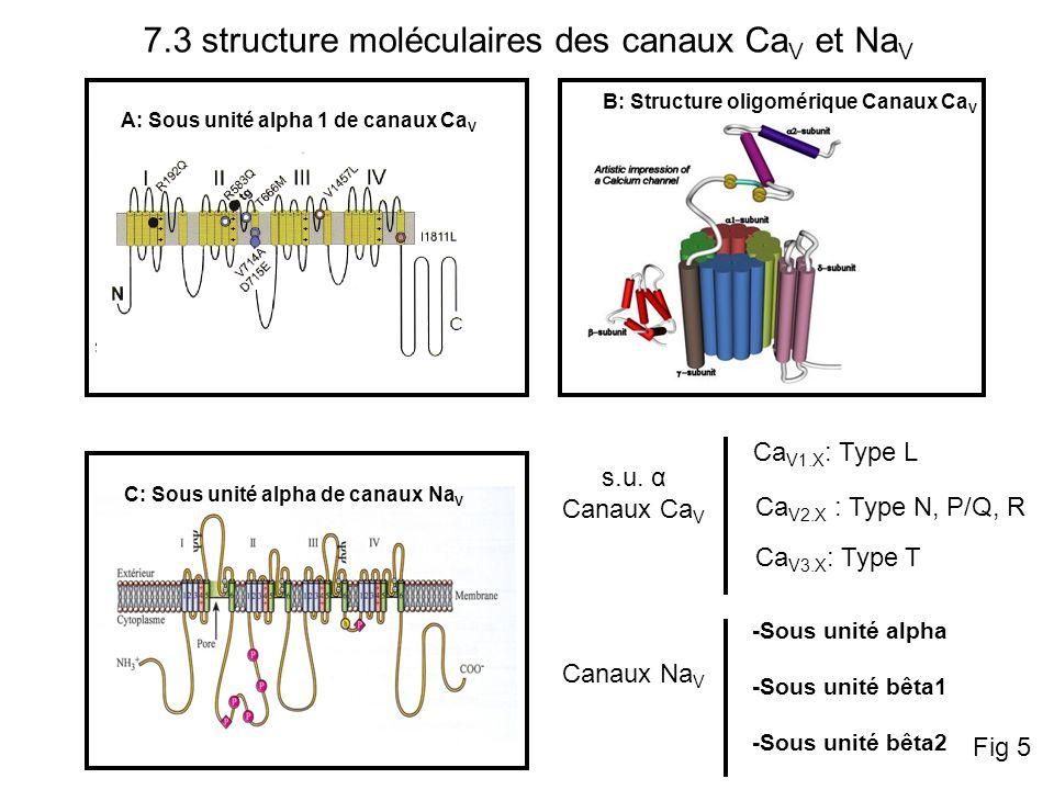 Récepteur au Glutamate (Na, K, Ca) Les récepteurs canaux pentamériques Famille des récepteurs nicotiniques: Récepteur Nicotinique (Na, K) Récepteur 5-HT3 (Na, K) Récepteur P2X (Na, K, Ca) Récepteur GABA (Cl) Récepteur glycine (Cl) 7.5.