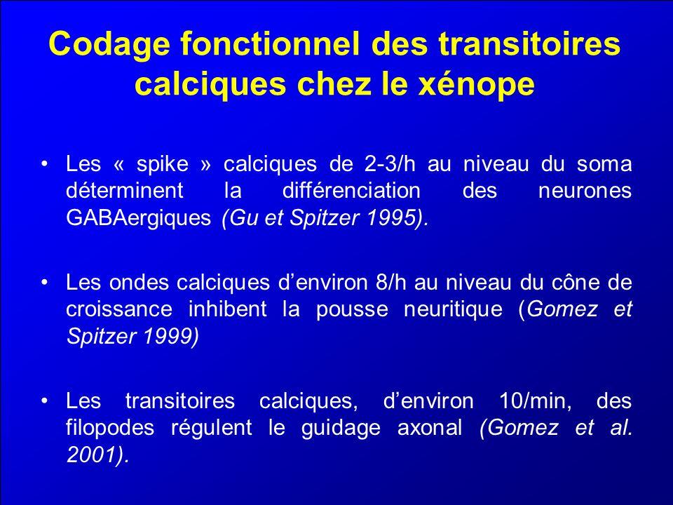 Codage fonctionnel des transitoires calciques chez le xénope Les « spike » calciques de 2-3/h au niveau du soma déterminent la différenciation des neu
