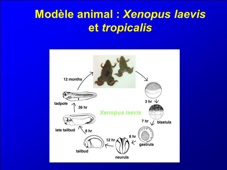 Advantages du modèle Modèle d embryologistes Milliers doeufs de grandes tailles.