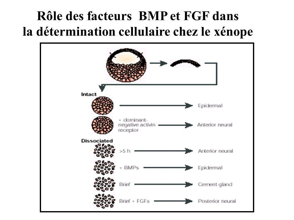 Rôle des facteurs BMP et FGF dans la détermination cellulaire chez le xénope
