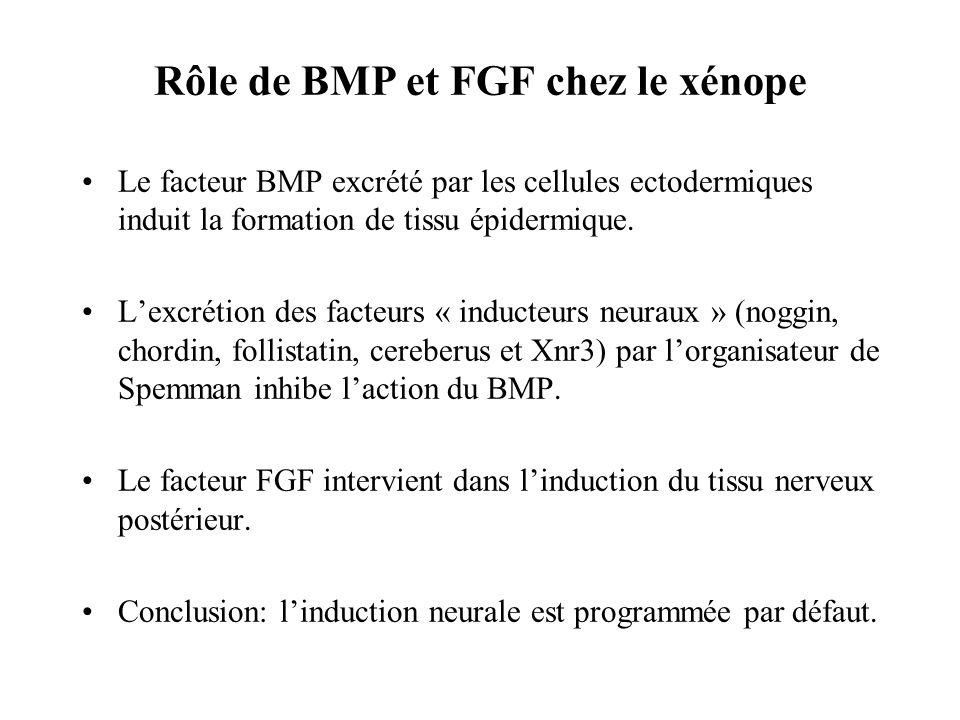 Rôle de BMP et FGF chez le xénope Le facteur BMP excrété par les cellules ectodermiques induit la formation de tissu épidermique.