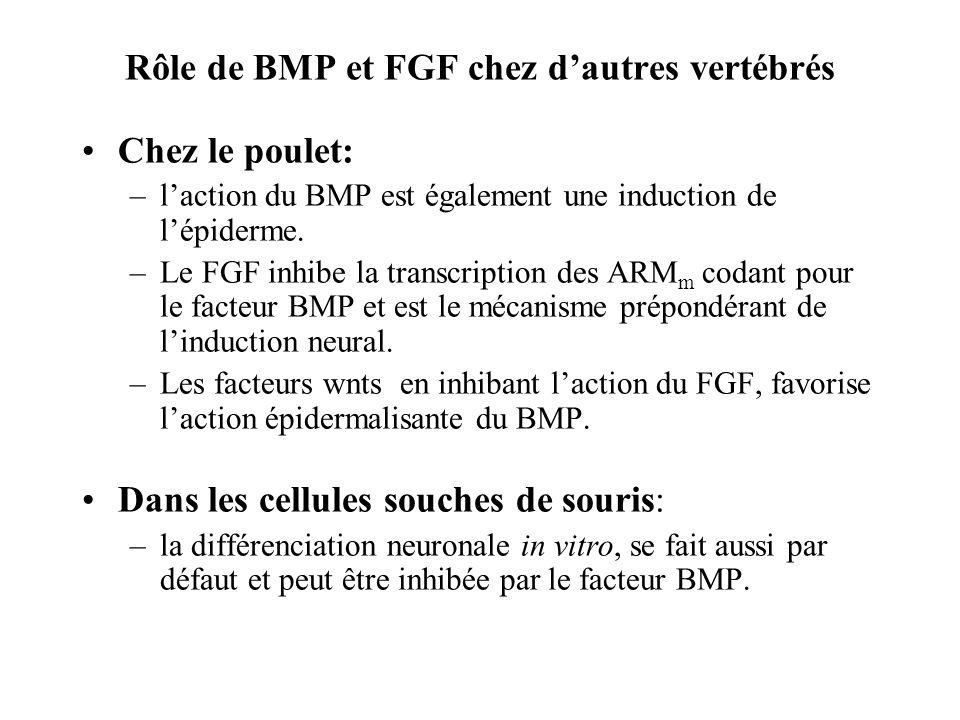 Rôle de BMP et FGF chez dautres vertébrés Chez le poulet: –laction du BMP est également une induction de lépiderme.